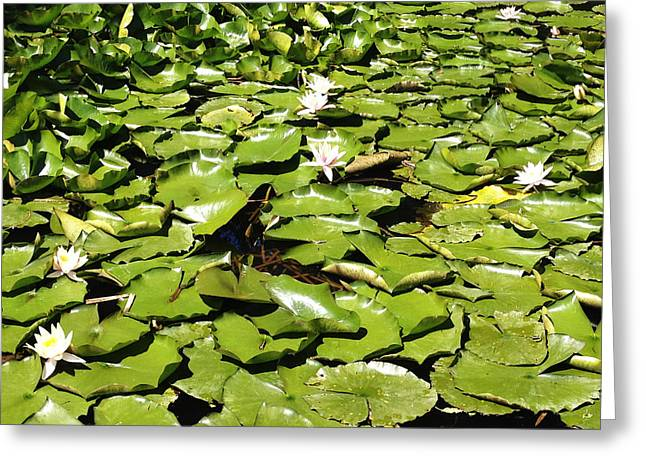 Water lillies Greeting Card by Les Cunliffe