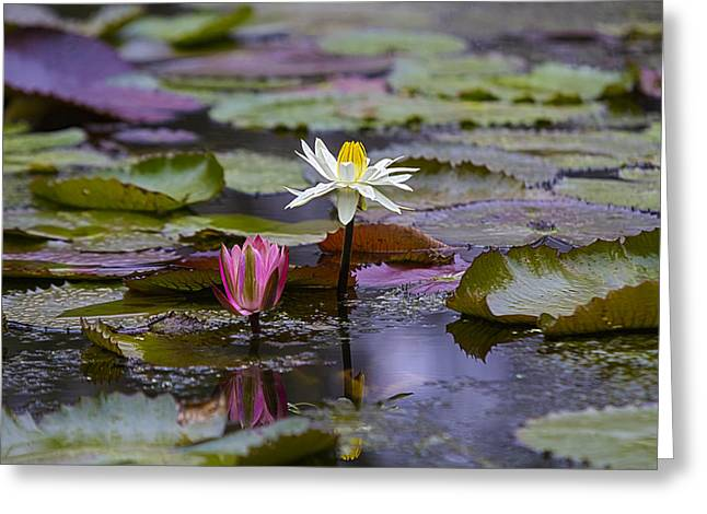 Water Lillies9 Greeting Card by Charles Warren