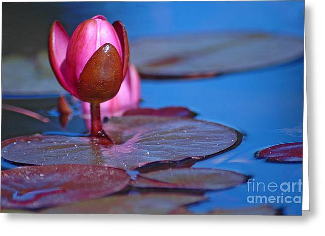 Water Lilly Greeting Cards - Water Lilly Greeting Card by Nick  Boren