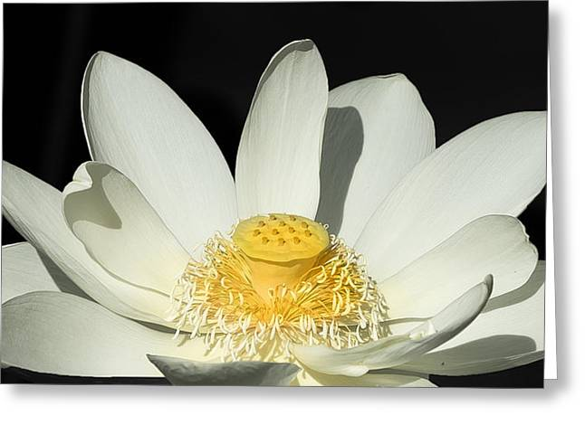 Water Lilly Pastels Greeting Cards - Water Lilly Greeting Card by Sean Allen