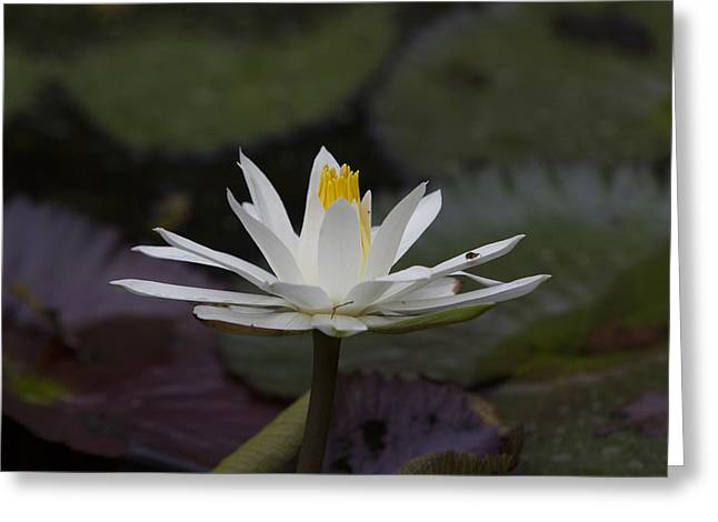 Water Lilly7 Greeting Card by Charles Warren