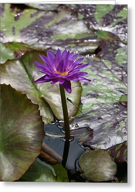 Lilly Pad Greeting Cards - Water Lily 11 and Guest Greeting Card by Allen Beatty