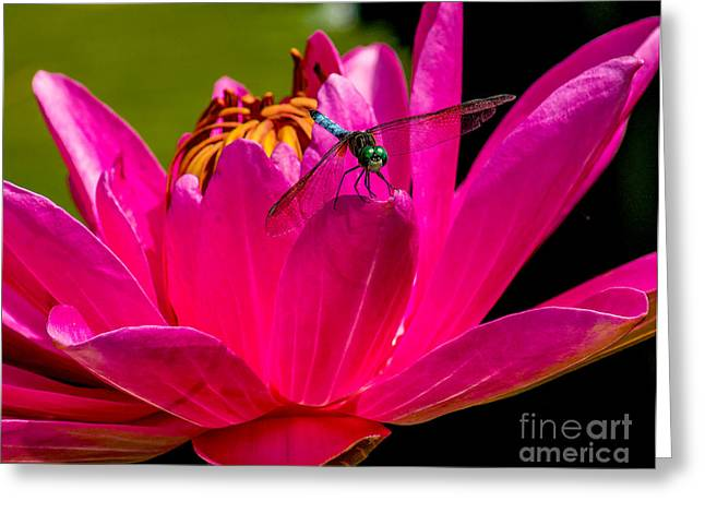 Aquatic Greeting Cards - Water Lily 2014-9 Greeting Card by Nick Zelinsky