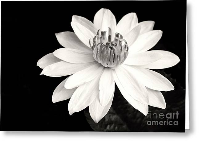 Florida Flowers Greeting Cards - Water Lily Ballerina Greeting Card by Sabrina L Ryan