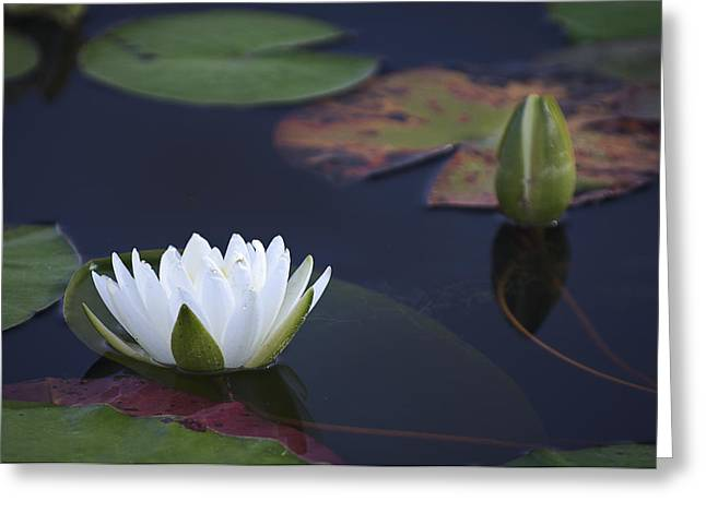 Water Lily Greeting Card by Bill Chambers