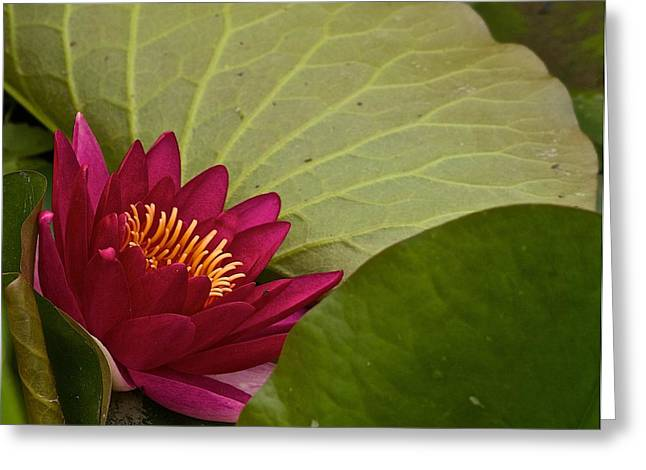 Ferrin Greeting Cards - Water Lily Greeting Card by Dan Ferrin