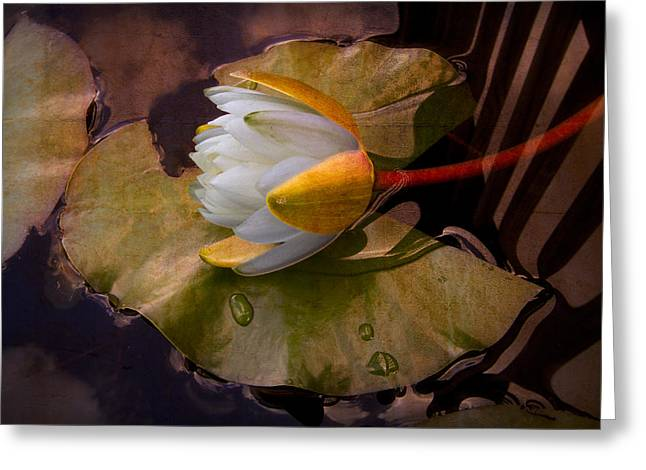 Reflections In River Greeting Cards - Water Lily Greeting Card by Debra and Dave Vanderlaan