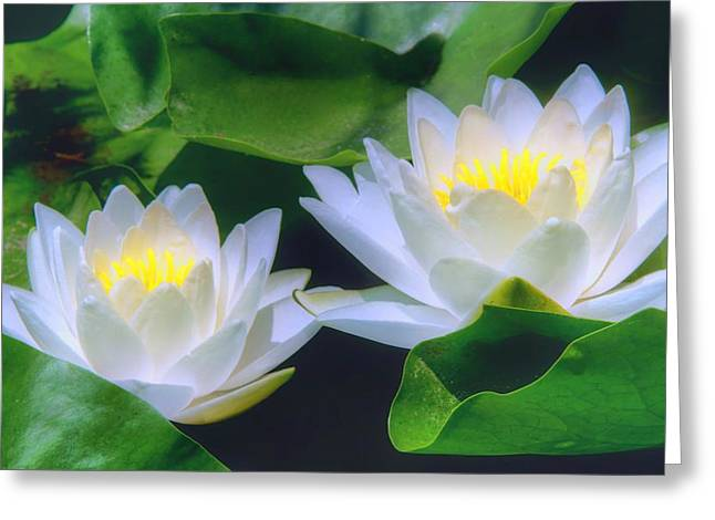 Lilly Pads Greeting Cards - Water Lily Duo Greeting Card by Nikolyn McDonald