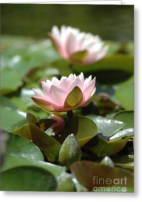 Lilly Pads Greeting Cards - Water Lily Flower  Greeting Card by Jt PhotoDesign