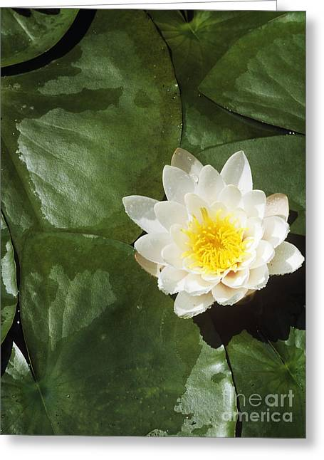 Nymphaea Alba Greeting Cards - Water Lily Flower Greeting Card by Martyn F. Chillmaid