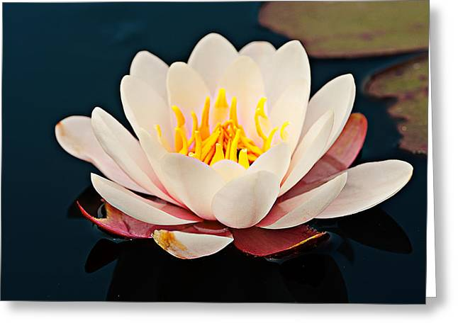 Flower Stamen Greeting Cards - Water Lily In A Pond, Mendocino Coast Greeting Card by Panoramic Images