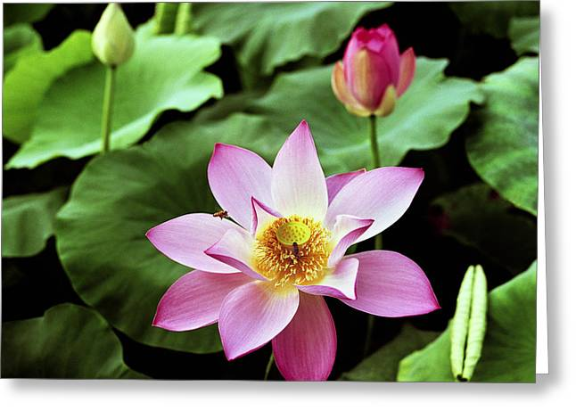 Pond In Park Greeting Cards - Water-lily Greeting Card by King Wu