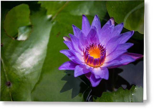 Mike Lee Greeting Cards - Water Lily Greeting Card by Mike Lee