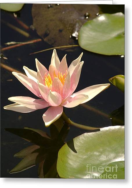 Nymphaea Plants Greeting Cards - Water Lily (nymphaea pink Sensation) Greeting Card by Adrian Thomas