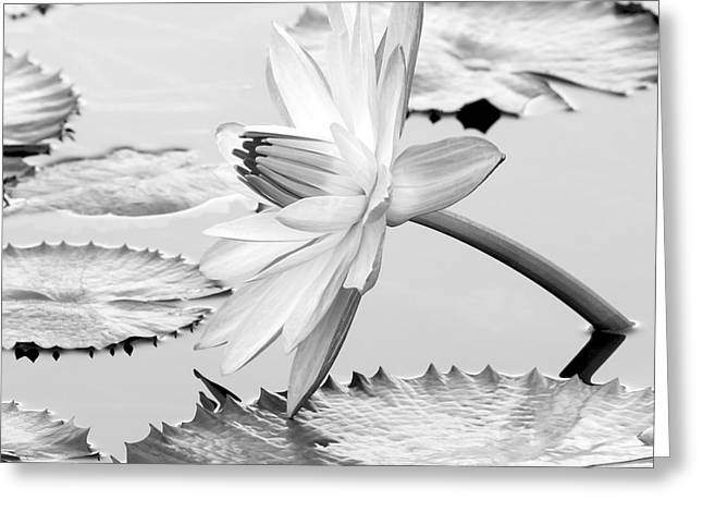 Florida Flowers Greeting Cards - Water Lily on its Side #2 Greeting Card by Sabrina L Ryan