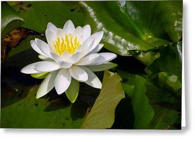 Nymphaea Alba Greeting Cards - Water Lily on Sandusky Bay Greeting Card by Shawna  Rowe