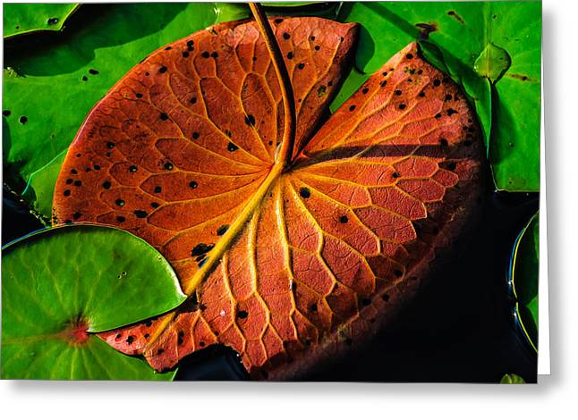 Water Lily Pad Greeting Card by Louis Dallara
