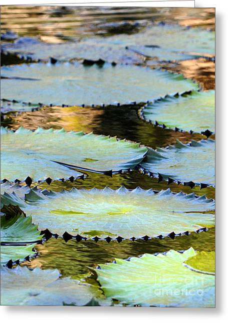 Wets Palm Beach Greeting Cards - Water Lily Pads in the Morning Light Greeting Card by Sabrina L Ryan