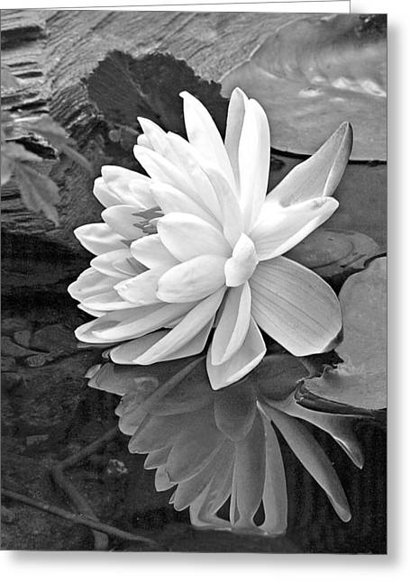 White Waterlily Greeting Cards - Water Lily Reflections in Black and White Greeting Card by Gill Billington