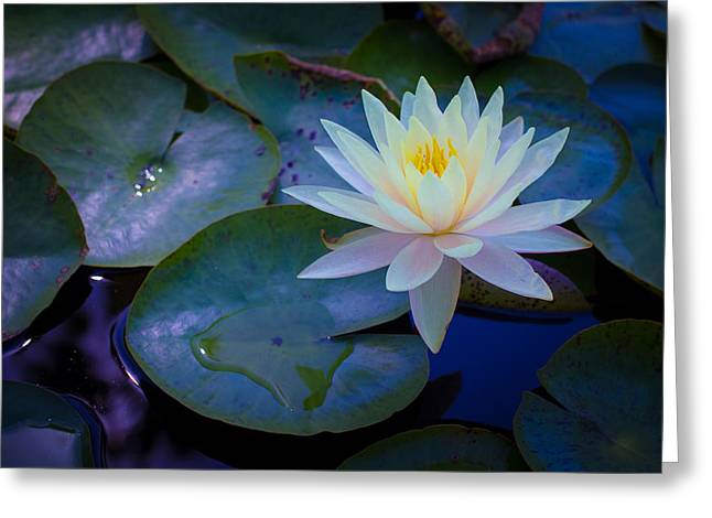 Lilly Pad Greeting Cards - Water Lily Greeting Card by Richard Cheski