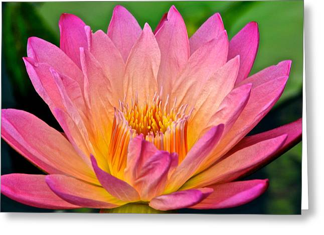 Terrific Greeting Cards - Water Lily Greeting Card by Frozen in Time Fine Art Photography