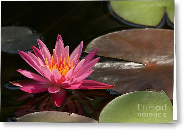 Florida Flowers Greeting Cards - Water Lily Soaking up the Sunlight Greeting Card by Sabrina L Ryan