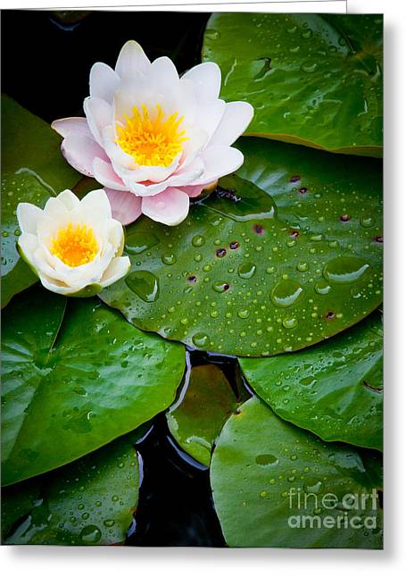 Floating Flowers Greeting Cards - Water Lily Study Greeting Card by Inge Johnsson