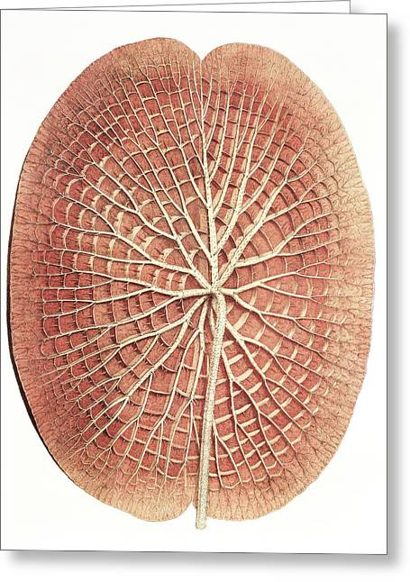 Water Lily (victoria Amazonica) Leaf Greeting Card by Natural History Museum, London