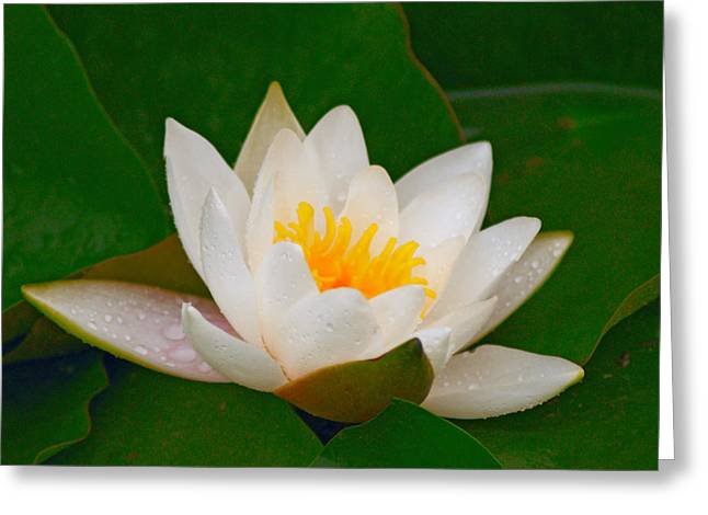 Pond In Park Greeting Cards - Water lily Greeting Card by Yury Maselov