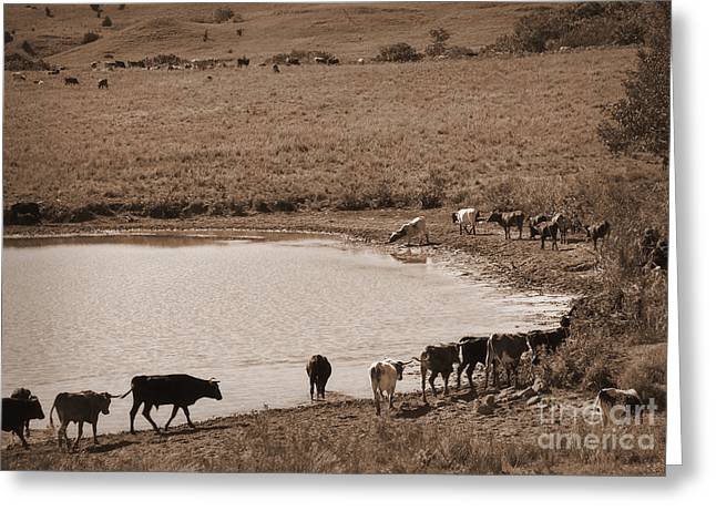 Cattle Drive Photographs Greeting Cards - Water Parade Sepia Greeting Card by Fred Lassmann