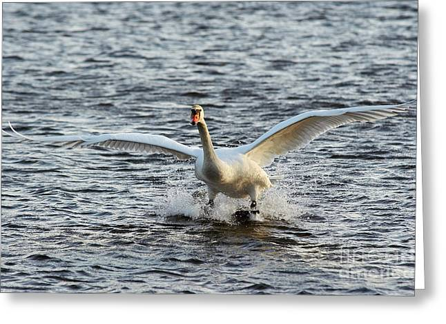 Flying Mute Swan Greeting Cards - Water Skiing Greeting Card by Michal Boubin