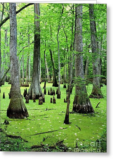 Natchez Trace Parkway Greeting Cards - Water Tupelo and Bald Cypress trees in swamp on the Natchez Trace Parkway Jackson Mississippi USA Greeting Card by David Lyons