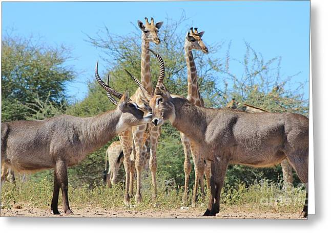 Decorate Greeting Cards - Waterbuck Bull Fighters Greeting Card by Hermanus A Alberts
