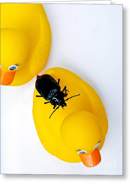 Bug Greeting Cards - Waterbug on Rubber Duck - Aerial View Greeting Card by Amy Cicconi