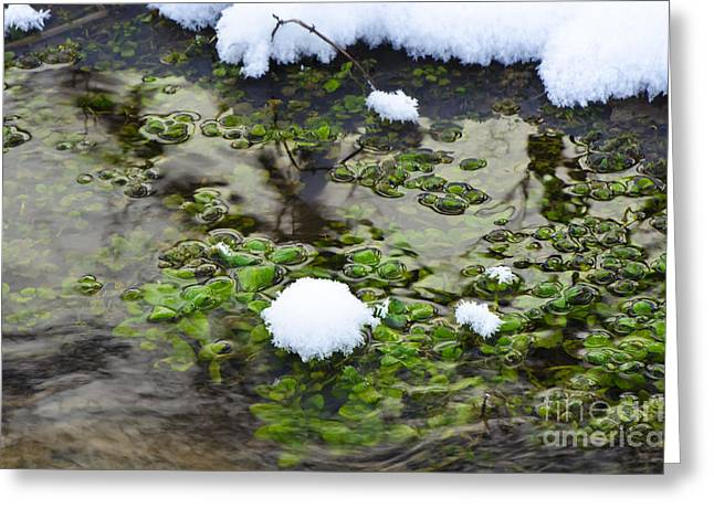 Watercress Greeting Cards - Watercress Snowcone Greeting Card by Dan Hefle