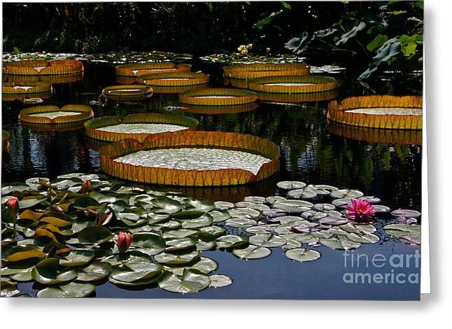Victoria Cruziana Greeting Cards - Waterlilies All Greeting Card by Byron Varvarigos