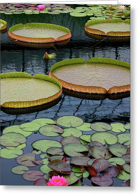 Victoria Cruziana Greeting Cards - Waterlilies and Platters 2 Greeting Card by Byron Varvarigos