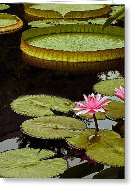 Victoria Cruziana Greeting Cards - Waterlilies And Platters Vertical Romance Greeting Card by Byron Varvarigos