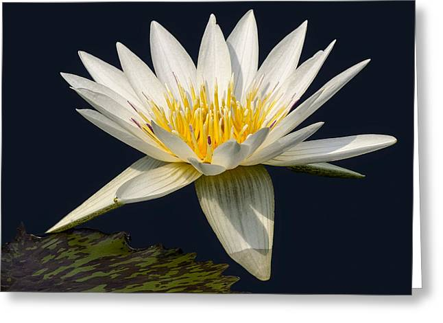 Waterlily Greeting Cards - Waterlily and Pad Greeting Card by Susan Candelario