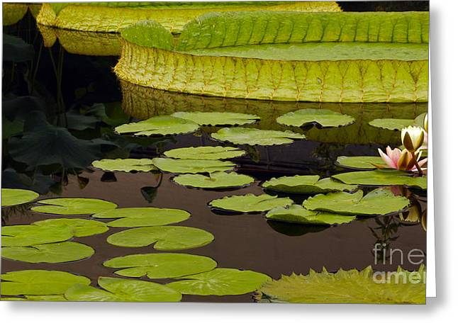 Victoria Cruziana Greeting Cards - Waterlily Charm Greeting Card by Byron Varvarigos