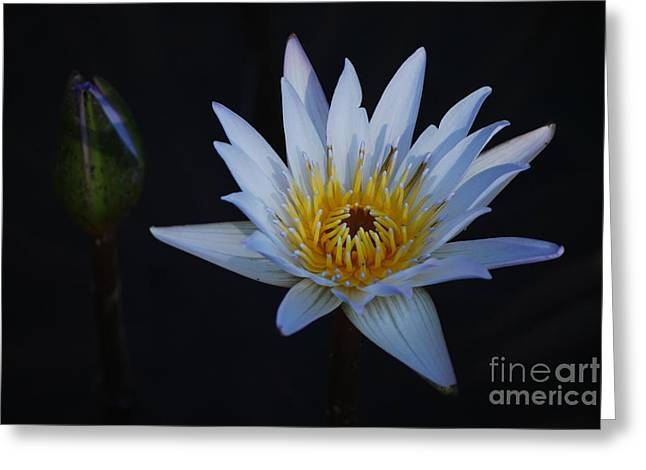 Nymphaea Greeting Cards - Waterlily Dawn Number One Greeting Card by Heather Kirk