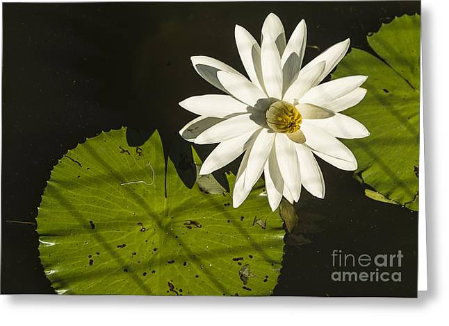 Faithfulness Greeting Cards - Waterlily Through a Fence Greeting Card by Terry Rowe