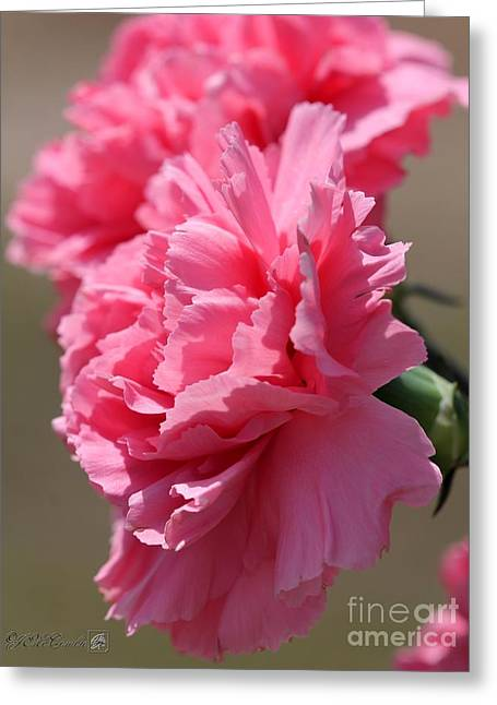 Watermelon Greeting Cards - Watermelon Pink Carnation Greeting Card by J McCombie