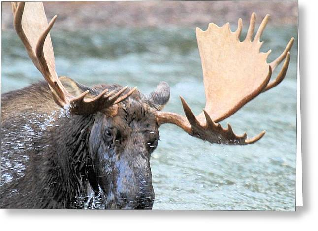 Moose In Water Greeting Cards - Watery Lunch Greeting Card by Adam Jewell