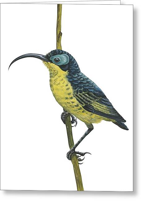 Wattle Greeting Cards - Wattled false sunbird Greeting Card by Anonymous
