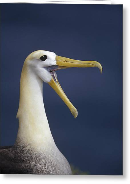 Diomedeidae Greeting Cards - Waved Albatross Courtship Display Greeting Card by Tui De Roy