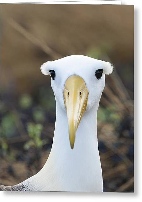 Critically Endangered Species Greeting Cards - Waved Albatross Espanola Isl Galapagos Greeting Card by Tui De Roy