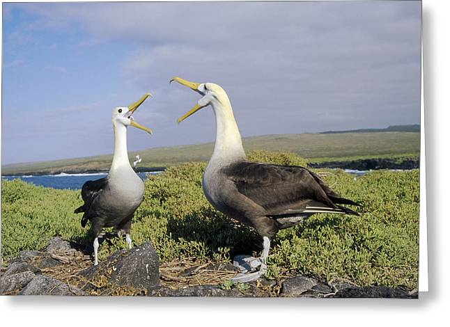 Diomedeidae Greeting Cards - Waved Albatross Pair Courting Galapagos Greeting Card by Tui De Roy