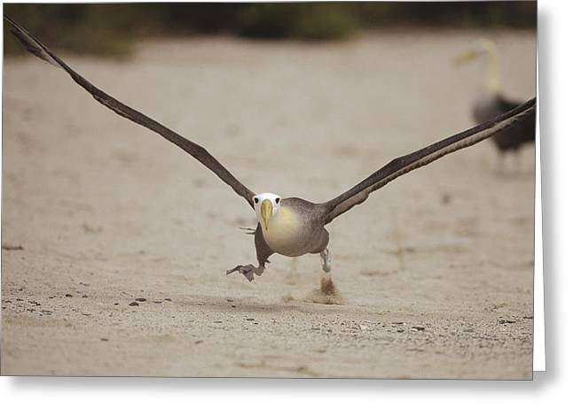 Taking Photographs Greeting Cards - Waved Albatross Taking Off Galapagos Greeting Card by Tui De Roy