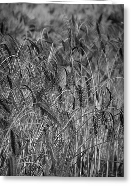 Healthy Concept Greeting Cards - Waves of Grain Greeting Card by Mountain Dreams